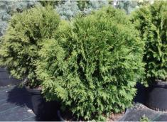 Woodword Arborvitae (Thuja occidentalis 'Woodwordii')
